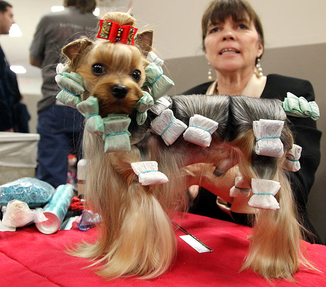 Yorkshire Terrier Grand Champion Nicnak's Aftershock, a 3 year old from Virginia, gets her hair wrapped after Best of Breed competition by handler Dawn Kelly. Wrapping the hair protects it when not in competition.