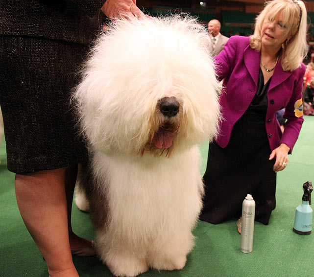 Old English Sheepdog Grand Champion Lambluv Gambolon Blue Thunder with handler after Best of Breed Competition.