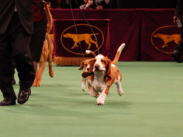 Basset Hound Grand Champion Splash's Professor.