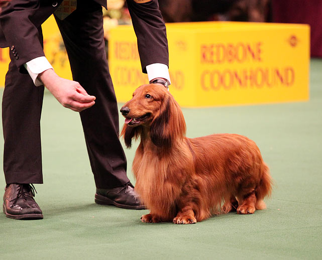 Long Haired Dachshund Champion Hundlelben Queen's Armada SL with Owner Carlos J. Puig.