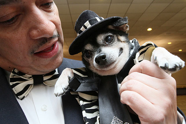 Dressed in a zoot suit, Bandit Rubio, a Chihuahua, is held by his owner Anthony Rubio as they wait to take part in the Pre-Westminster Fashion Show.