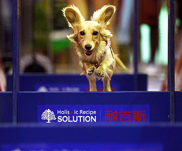 An adorable long-haired Dachshund scampers through a race course at the 2011 Taipei Pet Show. The show was held inside the Nangang Exhibition Hall in Taipei, Taiwan.