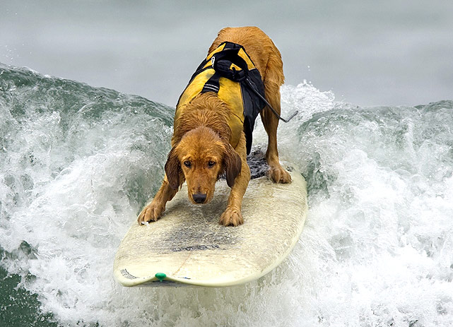 Animals show they can keep up with their owners and have just as much fun with water sports, such as surfing, water skiing, wakeboarding and skimboarding. Saint, a three-year-old golden retriever, catches a wave in Morro Bay, Calif. His owner said he has been surfing most of his life.