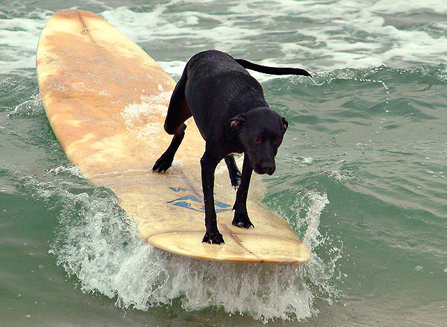 Maya, a two-year old mixed Lab, rides the surf in Lavalette, N. J. Maya's owner was teaching his dog to balance on his surfboard.