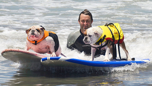 Old British bulldogs (not typically known as very athletic dogs) Louie (R) and Betsy (L) ride a wave together during the Loews Surf Dog Competition in Imperial Beach, California.