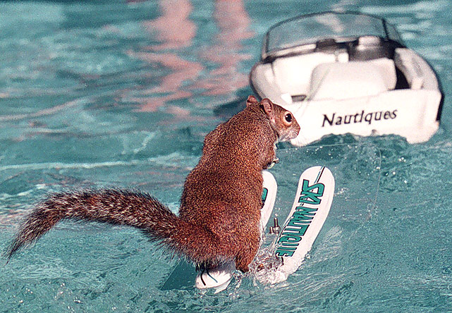 Twiggy, a squirrel owned by Lou Ann Best, of Sanford, Fla., water skis around a pool pulled by a radio-controlled boat during the 13th annual Racine, Wis. In-Water Boat Show. In addition to three other Twiggys, the Best family has taught a miniature horse, a miniature poodle, an armadillo, a toad and a cat to water ski.