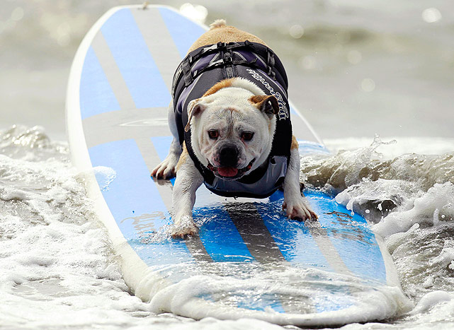 This dog looks prime to get a high score at a surf dog contest held in Huntington Beach, California on September 25, 2011.