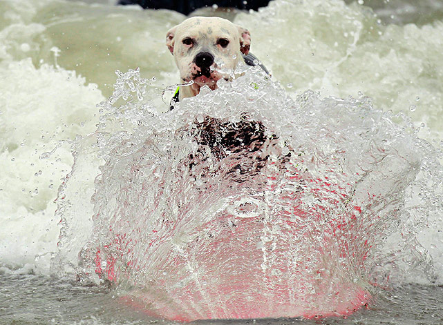 This dog nearly blends in with the wave during the competition. Let's hope he receives high marks for his disappearing act.
