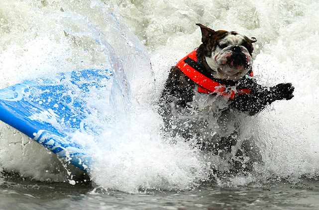 The wave overcomes this poor dog during a surf dog competition, and he is knocked off the board.