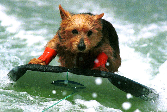 Spinnaker, a six-year-old Australian terrier, takes a wave on a boogie board in Russel, New Zealand.