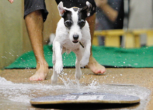 """A Jack Russell dog named Porter shows off his skimboarding skills at a casting call to appear on the """"Havin' a Splash"""" float in the 122nd Tournament of the Roses Parade."""