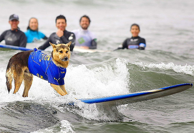 Surf dog Duke catches a wave during a training session for the Chile Extremo surf school, run by Duke's owner, about 75 miles northwest of Santiago, Chile. The students watching Duke hope that one day they can surf just as well.