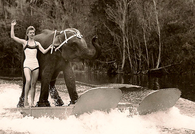 Queenie, an Asian elephant, water skis upon specially created water skis to keep her huge body afloat at a park in Florida, where she was the star of a water skiing show. Sadly, Queenie was euthanized at a Georgia wildlife park, May 30, 2011, where she lived her final years in retirement.