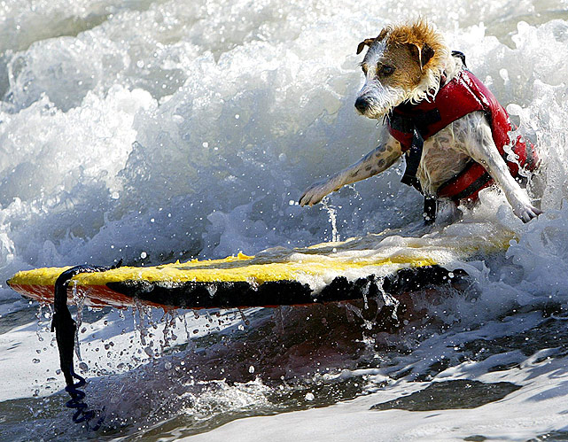 Buddy, a 4-year-old Jack Russell terrier, makes like a human and surfs on just two legs.
