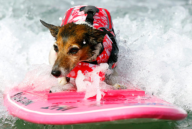 Kai, an eight-year old Russell Terrier, hangs on for dear life as she competes in the 4th annual Helen Woodward Animal Center Surf Dog Surf-A-Thon. At least the surfboard matches the life vest.
