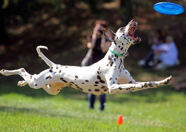 A dog jumps during a Russian dog-frisbee tournament in Moscow.
