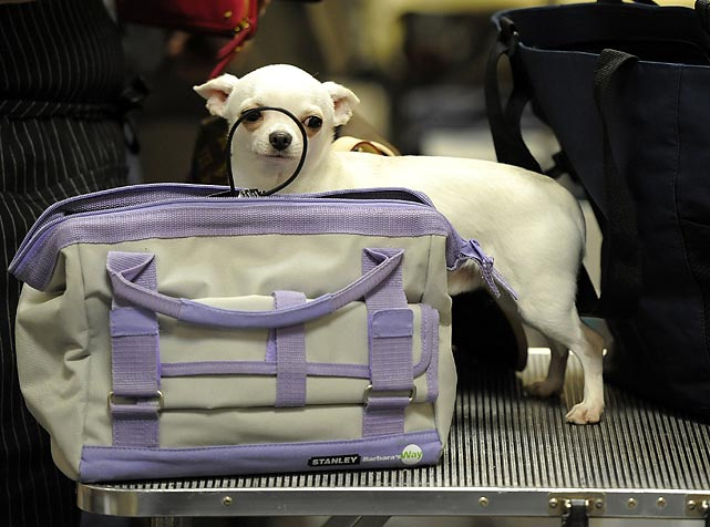 The dog's in the bag? Simon, a Chihuahua, can't decide if he wants in or out of his carrying case.
