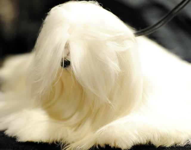 A Maltese lets it all hang down in the staging area.