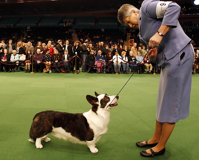 Handler Dixie Rae shows Cardigan Welsh Corgi Myste Baledwr Free to Disagree to the judges.