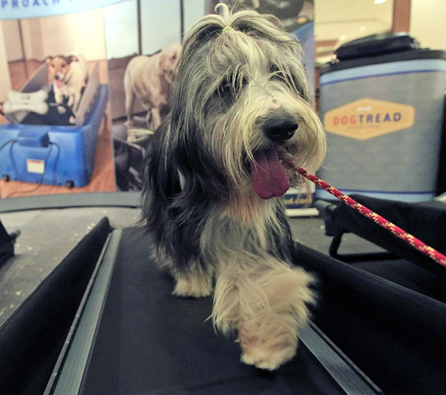 Elvis, a 4-year-old Bearded Collie, gets a workout in at the Green Room Salon and Spa at the Hotel Pennsylvania.