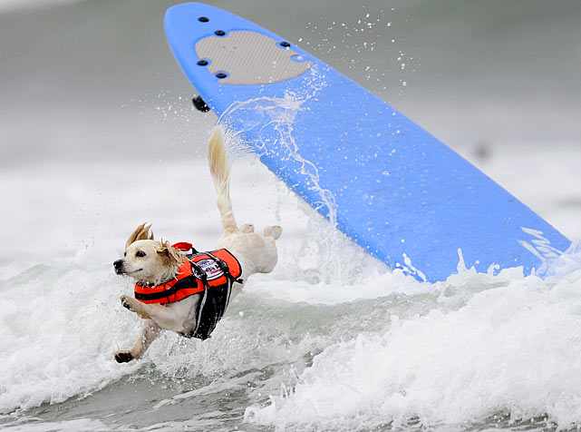 Cody, a one-year-old pup participating in the surf competition of Purina's Incredible Dog Challenge in San Diego, prepares for a splash after abandoning ship