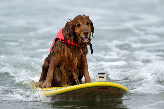Earlier this month, 50 water-loving canines descended upon Imperial Beach, Calif. for the seventh annual Loews Surf Dog Competition. Among the participants was King (pictured here), a nine-year-old golden retriever. In honor of King and water-loving dogs everywhere, here's a gallery of dogs enjoying the surf.