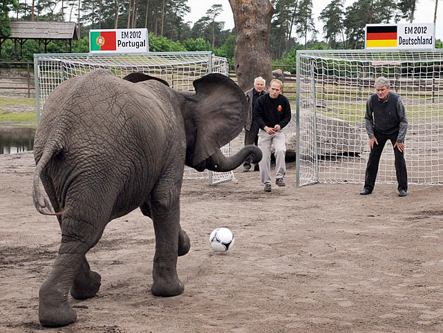 Welcome to Did You See That? -- the elephant in the room of ordinary photo galleries. We now proceed with a prognosticating pachyderm picking the outcome of a soccer match by taking two shots, this one at former German national goalkeeper Sepp Maier in Serengeti Park in Hodenhagen, the other at Portugal's net. Nelly's score on Portugal portended a victory for Germany. Take it to the bank and stash your winnings in a trunk.