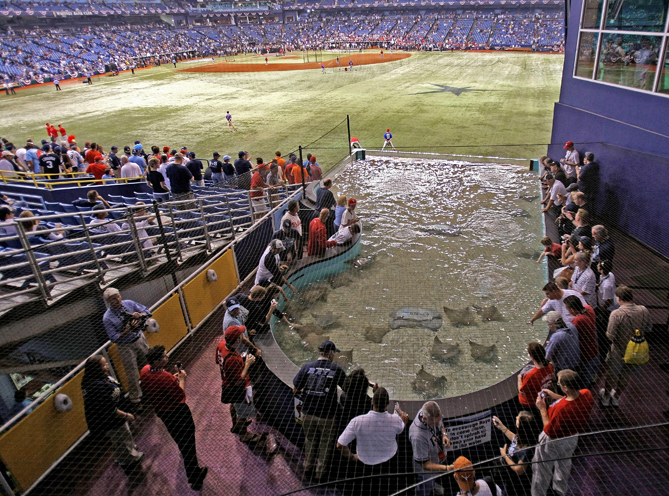 The Rays Touch Tank is located just beyond the right-centerfield wall. You can actually pet a real, live ray!