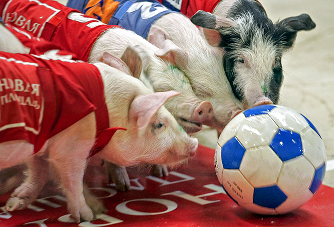 First held in China, the Pig Olympics grew to include events such as running, swimming, and a soccer-like game in which the piggies use their snouts to push a greased-up ball toward a goal. You can read all about it in <i>Porks Illustrated</i>.
