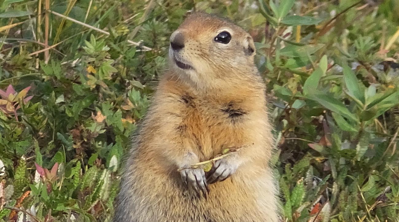 A Denali-Arctic Ground squirrel.
