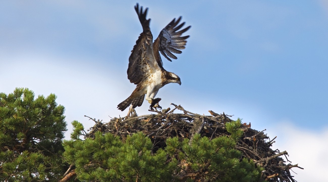 Spring is a busy time for both recreational golfers and nesting hawks.