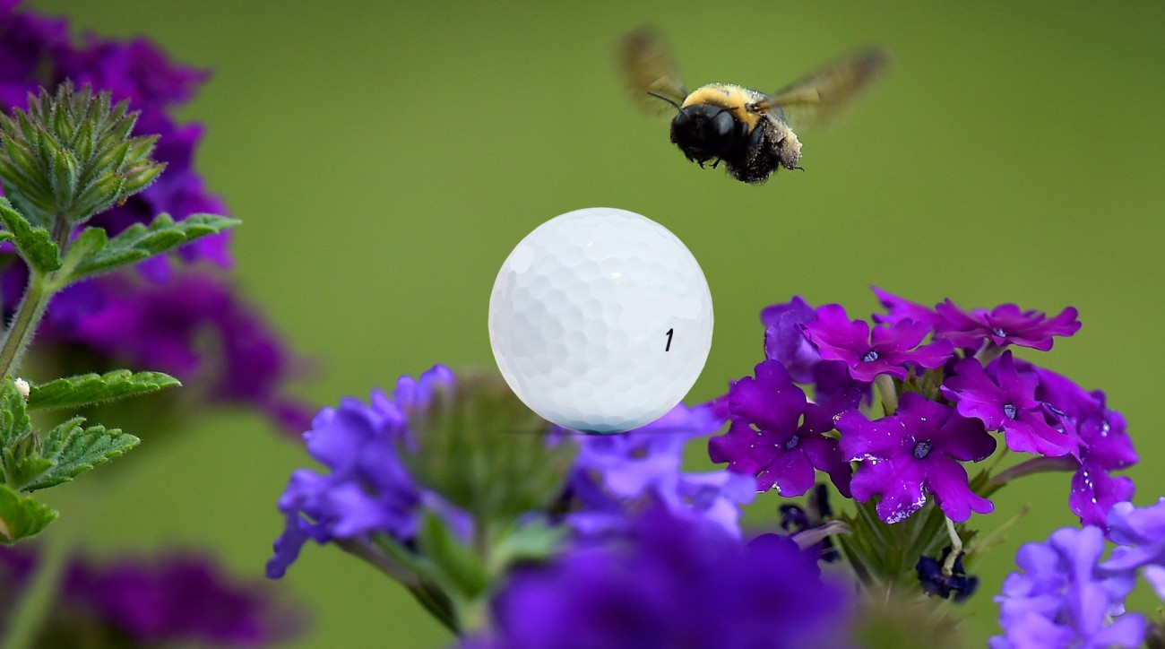 A recent study used a golf-like experiment to prove bumblebees are capable of high cognitive functions.