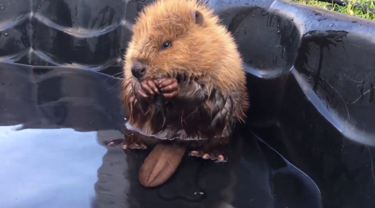Try not to smile at this cute baby beaver hanging out in a swimming pool.