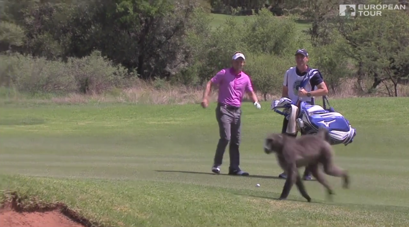 A baboon interrupts Luke Donald's shot at Gary Player CC in Sun City, South Africa.