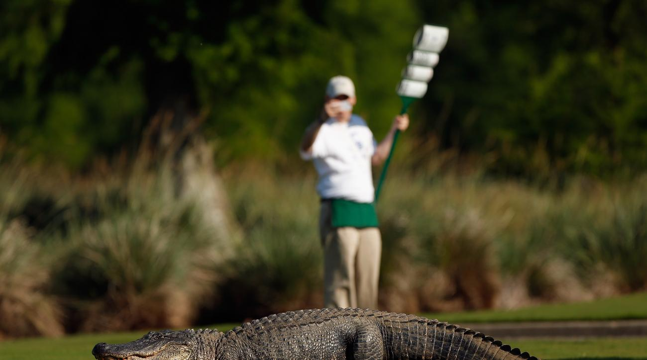 An alligator ventured onto the fairway during the first round of the 2013 Zurich Classic at TPC Louisiana.