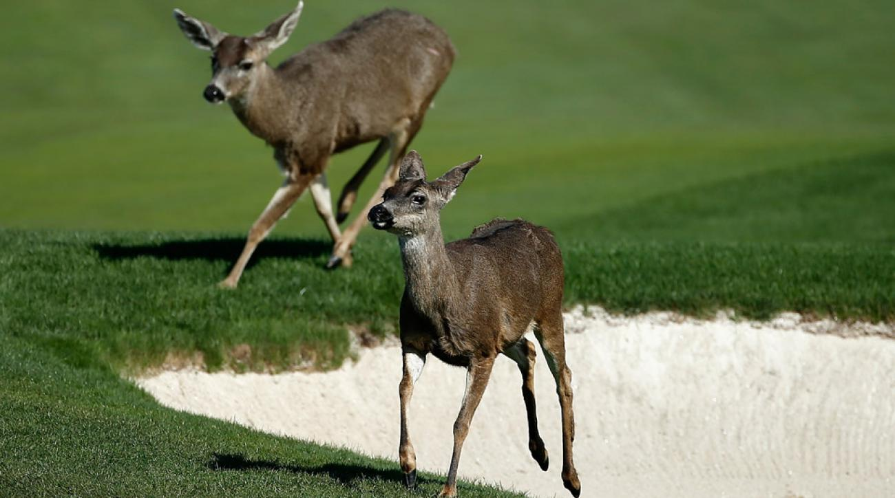 These two deer paid no mind to the golfers at Pebble Beach.