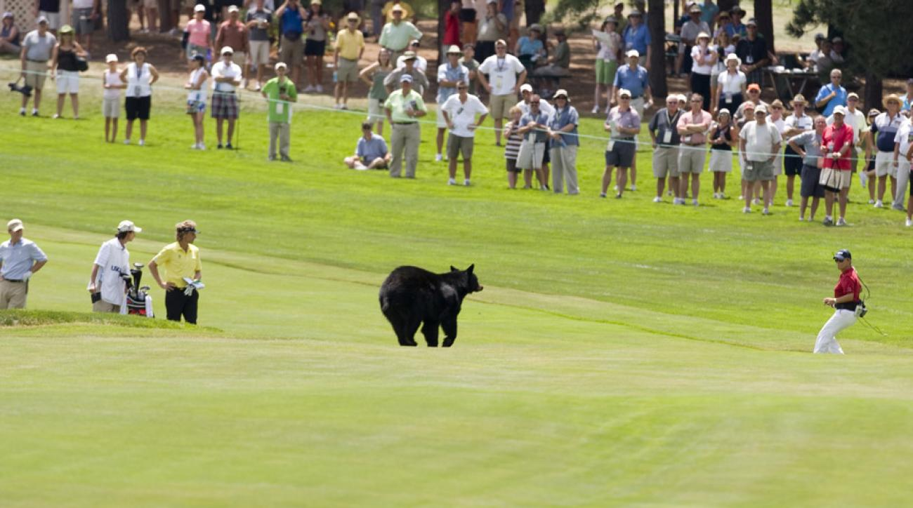 A black bear ran across the 13th fairway Friday afternoon.