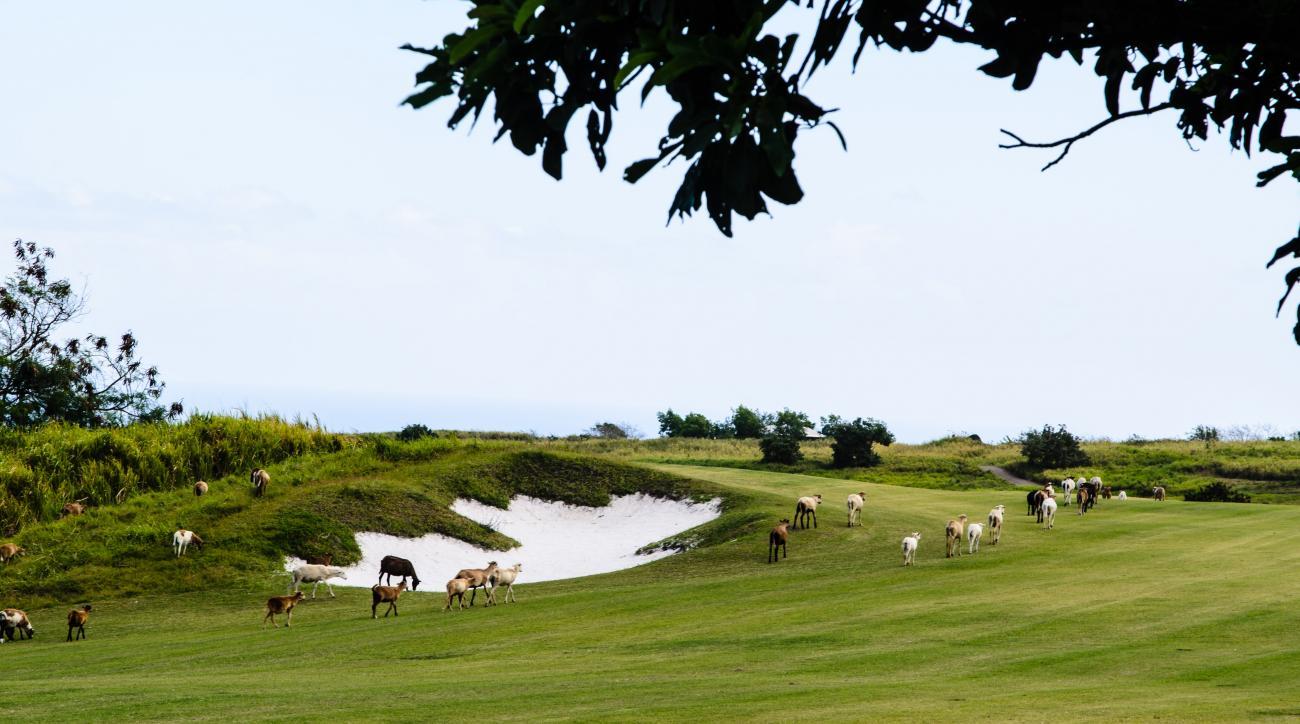 Goats roam the fairways at Irie Fields.