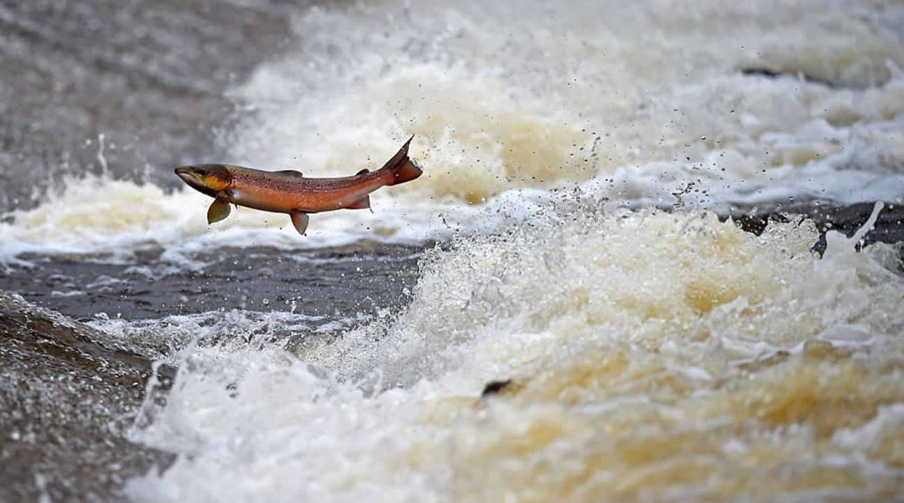 Salmon attempt to leap up the fish ladder in the river Etterick on October 27, 2014 in Selkirk, Scotland. The salmon are returning upstream from the sea where they have spent between two to four winters feeding with many covering huge distances to return