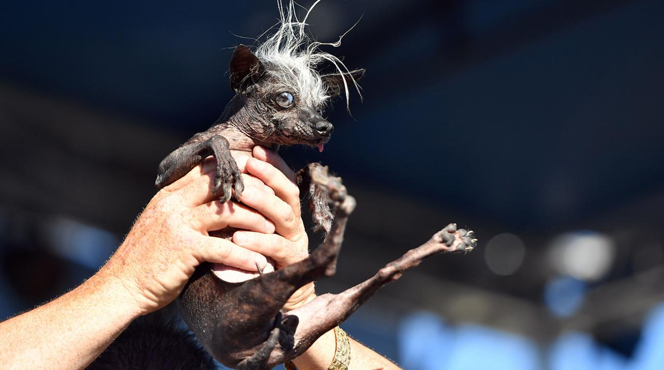 Mustard Minute: SweePee Rambo wins World's Ugliest Dog competition IMG