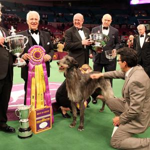 The 135th Westminster Kennel Club Dog Show at Madison Square Garden kicked off on Monday with breeds ranging from a basset hound to a lhaso apso.  Scottish deerhound Hickory poses for photographers after winning best in show on Tuesday night.