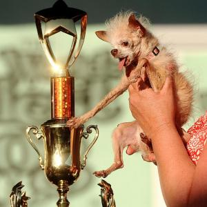 Yoda grabbed the hardware in the World's Ugliest Dog Contest in appropriately-named Petaluma, California. The 14-year-old Chinese Crested and Chihuahua mix looked a whole lot nicer to the male woofers with her $1000 winner's check in paw as well.