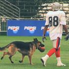 New England wide receiver Terry Glenn loses possession of the ball to a dog during Patriots training camp in Foxboro, Mass.