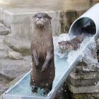 A river otter enjoys some summer fun at Ichikawa Zoological and Botanical Garden in Ichikawa, east of Tokyo.
