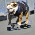 """Tillman, the worlds fastest skateboarding dog, attends """"Bark in the Park"""" at New York's Citi Field on Saturday. The event, during which Mets fans can watch a game with their dogs, helps to support the North Shore Animal League America."""