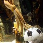 As wagering types everywhere mourn his sudden passing, we present this photo of the World Cup's famed psychic mollusk happily booting a ball around at the Sea Life aquarium in Oberhausen, Germany. Paul, you may recall, correctly predicted the result of all of Germany's matches as well as the Spain-Netherlands final during the 2010 tournament.