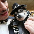 For those who have grown weary of swimsuits, we present a mutt in a zoot suit. Bandit Rubio's his name and he strutted his stuff in New York City.