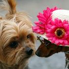 In this week's public service message, the Yorkie and the miniature pinscher remind you not to forget your sainted mother on Sunday, May 8.