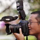 "Just to prove that we don't peddle pure fiction around here, Reuters says, ""Pet bird Xiao Nuo pecks at the flash while perched on the lens of a camera during an interview by local media with its owner in Kunming, Yunnan province, on Aug. 18, 2011. The bird is attracted to cameras and will approach and investigate any cameras it sees, according to the owner."" You can't make this stuff up."