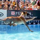 Not to be outdone by some two-faced cat, Belgian Olympic hopeful Vhoebe breaks the world distance record with a dive of 31 feet 8 inches at the big competition on Oct. 1.